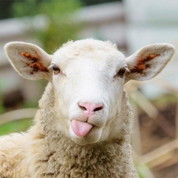Futter Schafe und Ziegen   Landanzeiger-Shopping