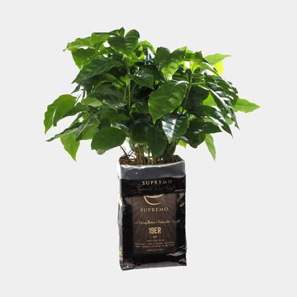 Kaffeepflanze im Bohnensack |Landanzeiger-Shopping