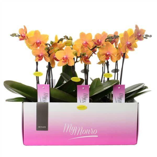 "Falterorchidee ""My Monroe Bronzer"" - Wyss Gartenhaus | Landanzeiger-Shopping"