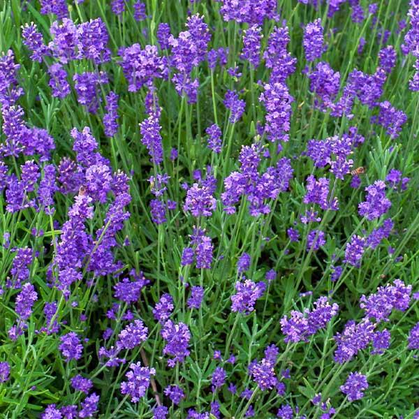 "Lavendel ""Munstead"" 01 |Landanzeiger-Shopping"