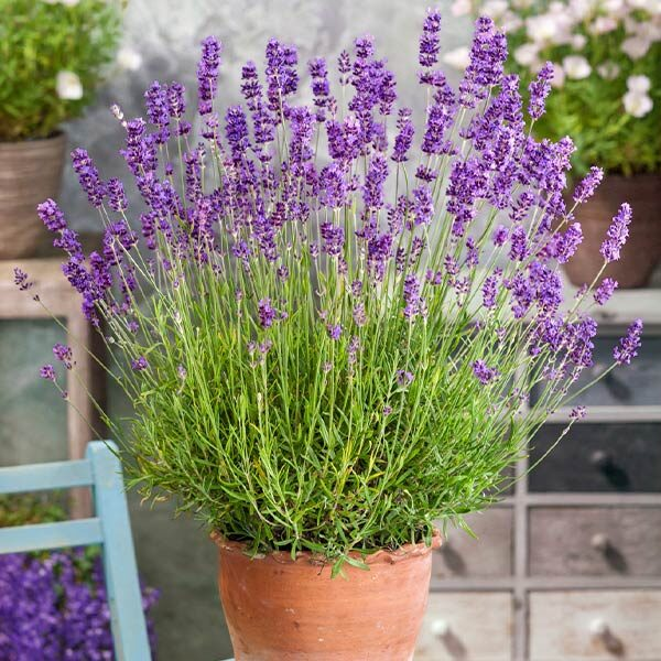"Lavendel ""Munstead"" 02 |Landanzeiger-Shopping"